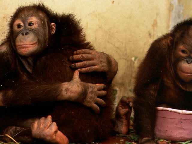 http://jemima.files.wordpress.com/2006/07/orangutan-hugs.jpg